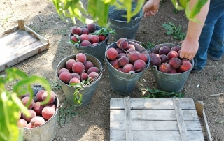 stone fruit harvest