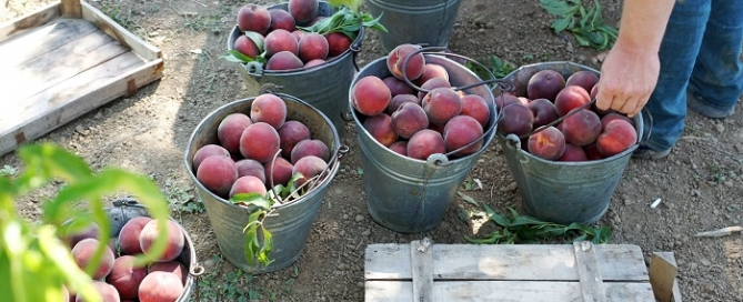 stone fruit harvest